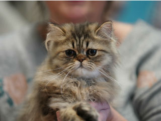 Evangeline Country Cat Fanciers 2018 Show