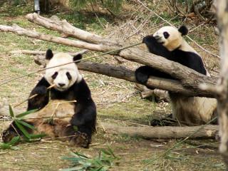 News_pandas_bamboo