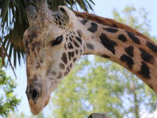 News_Houston Zoo_giraffe