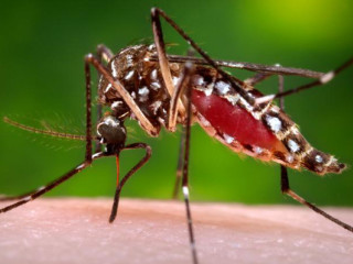 Mosquito that carries chikungunya virus