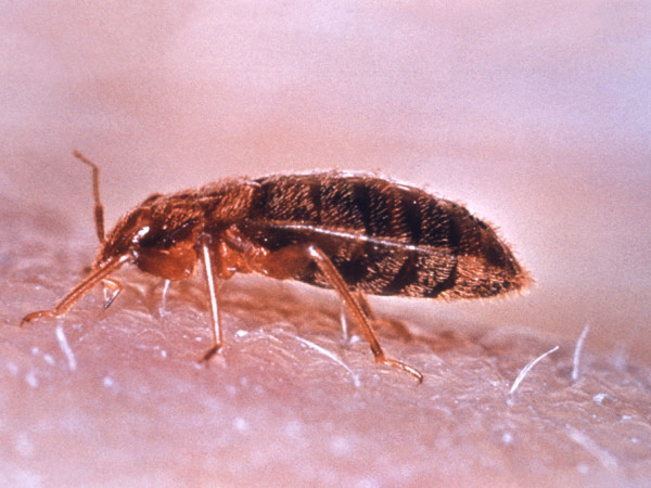 News_Bed bugs_August 10