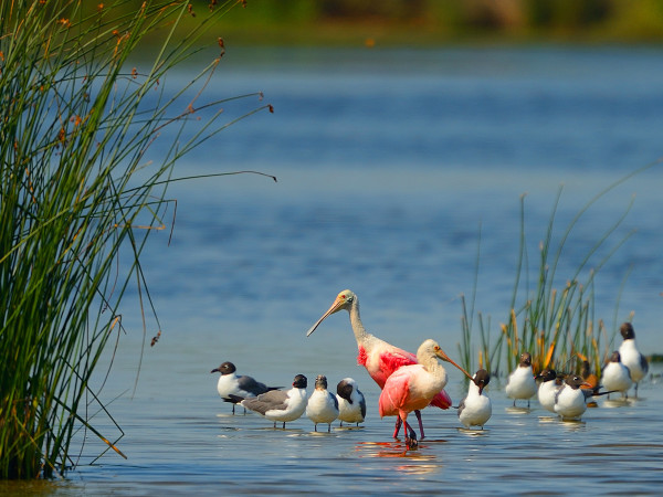 Galveston Bay wildlife birds