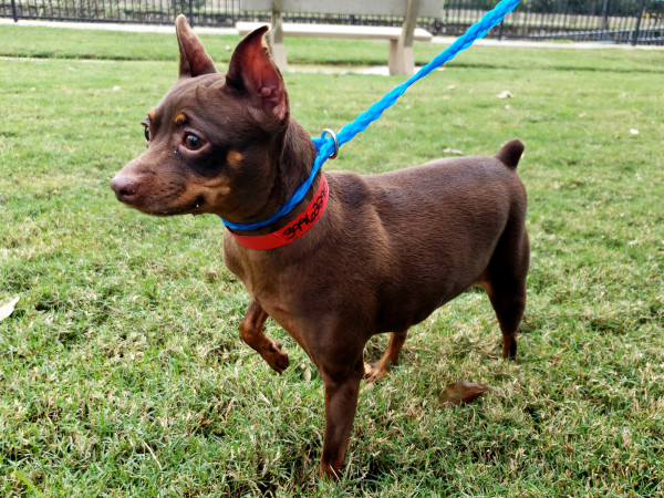 Pet of the Week - Sasha miniature pinscher