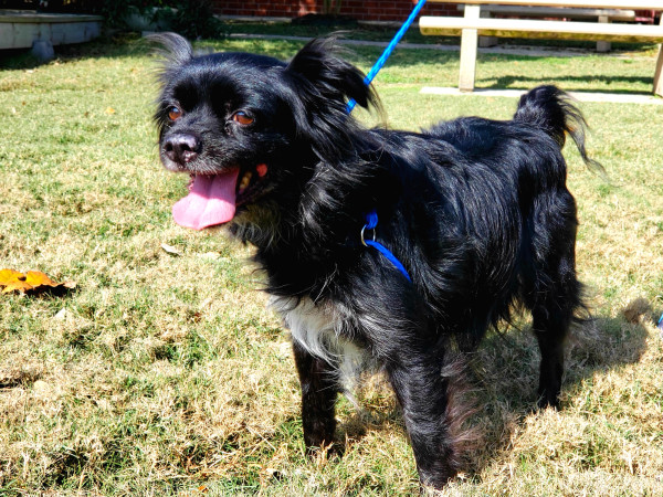 Pet of the Week - Thor Tibetan Spaniel