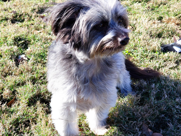 Pet of the Week - Kingston Maltese