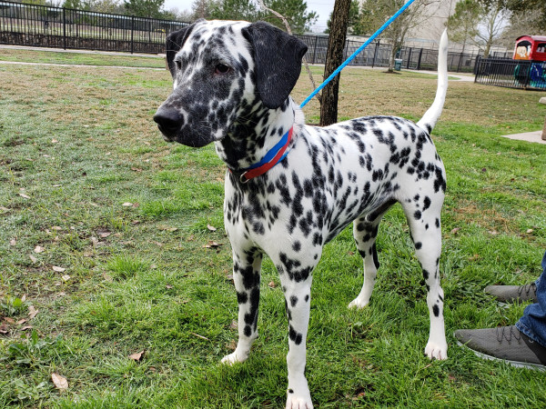Pet of the week - Domino Dalmatian