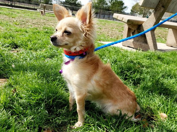 Pet of the Week - Tiffany Chihuahua