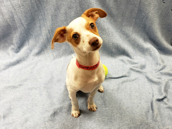 Pet of the week - BonBon Chihuahua