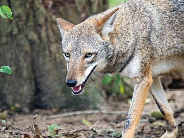 Coyote in the wild