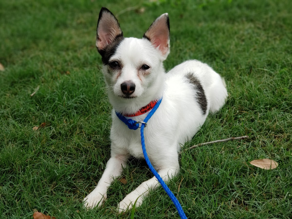 Pet of the week - Pixie Chihuahua mix