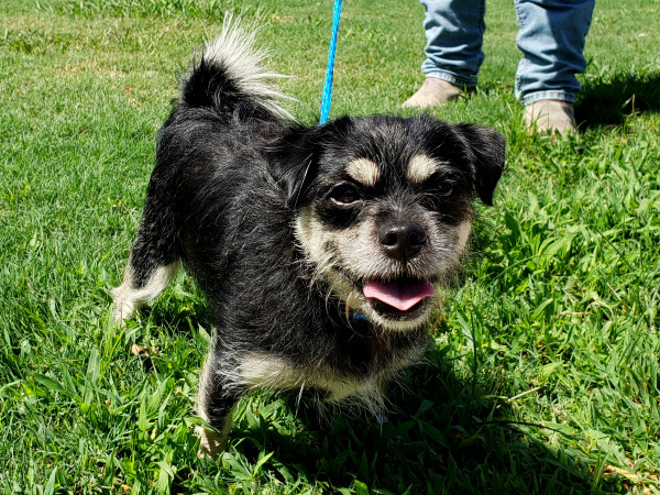 Pet of the week - Pepper terrier