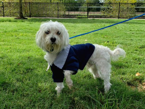 Pet of the week - Lucky Maltipoo