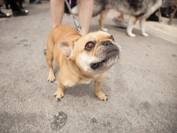 Jo's 16th Annual Pet Parade in Austin French Bulldog Rob