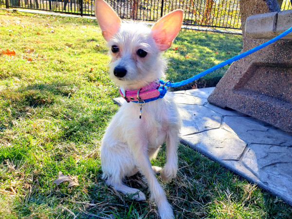 Pet of the week - Winnie Chihuahua