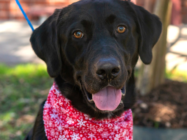Pet of the week - Will Labrador retriever
