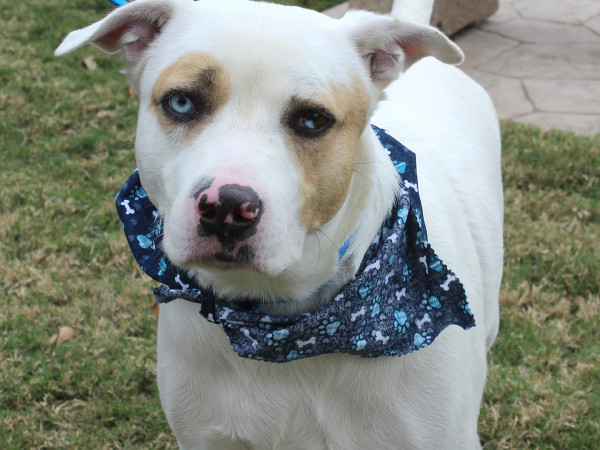 Pet of the week - Bandit Catahoula Leopard mix