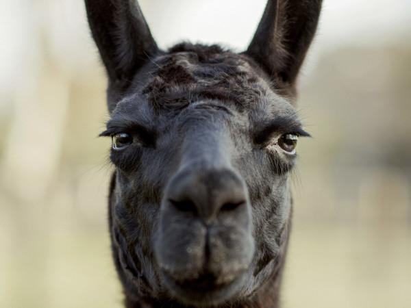 Winter the covid 19 llama