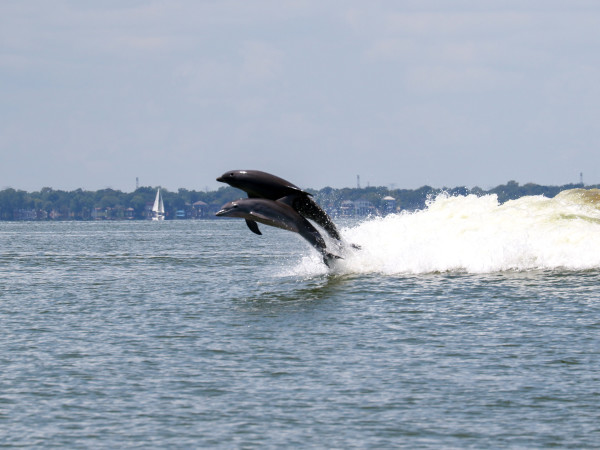 dolphins dolphin galveston bay leaping jumping