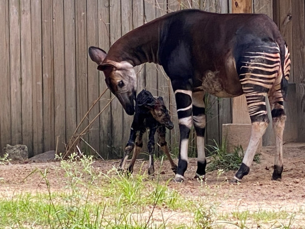 Houston Zoo okapi baby newborn