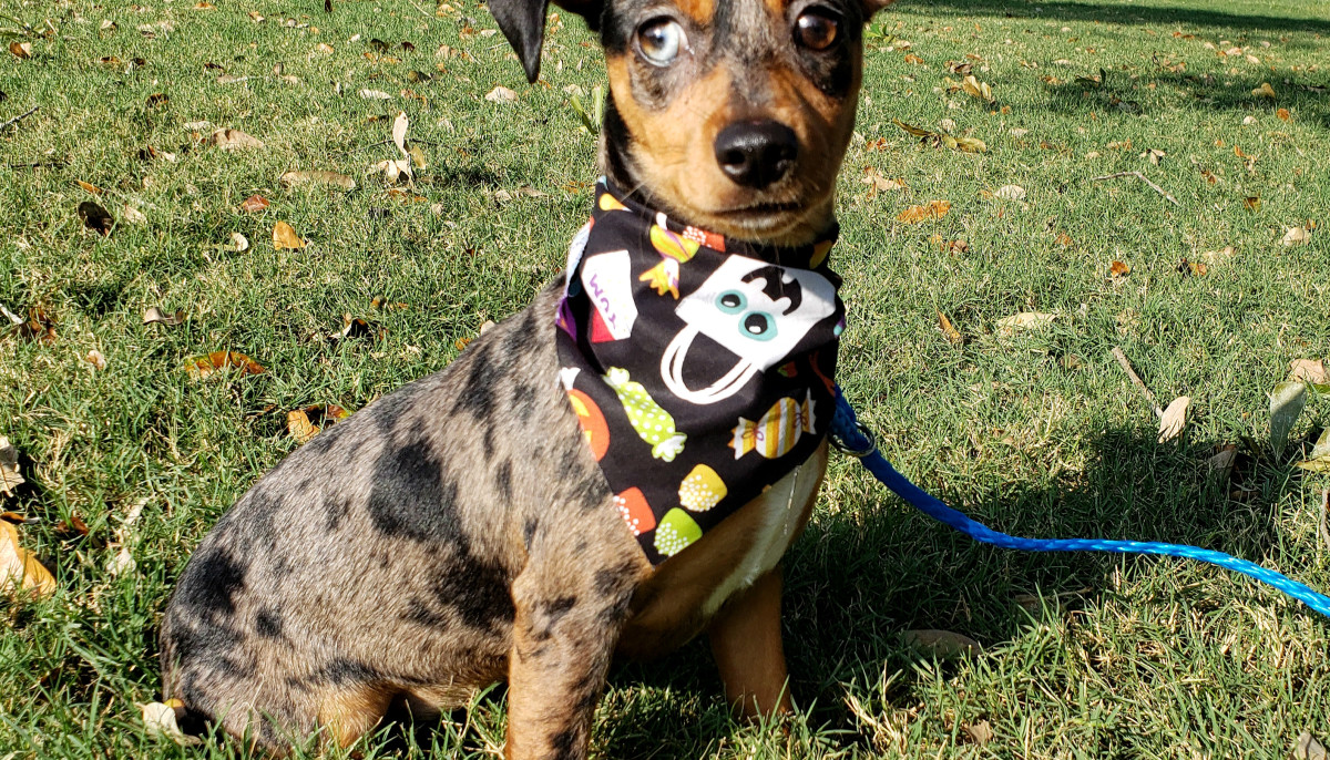 Meet Jenny, the mini-Dachshund mix, CultureMap's pet of the week