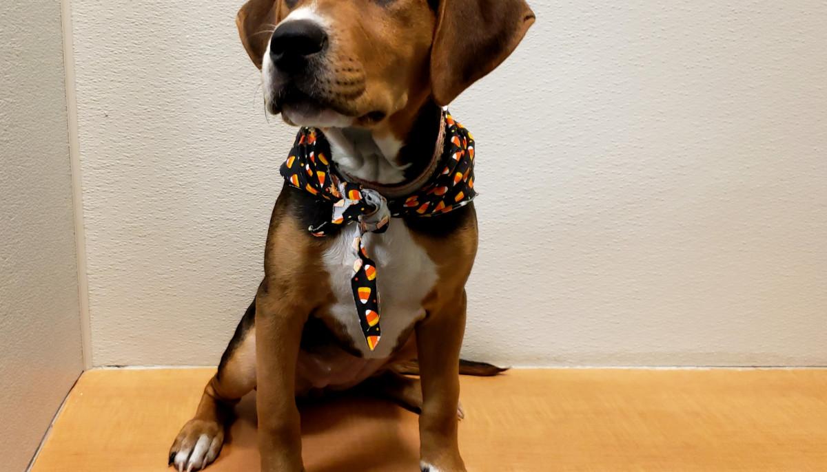 Meet Emmylou, the huggable hound mix, CultureMap's pet of the week
