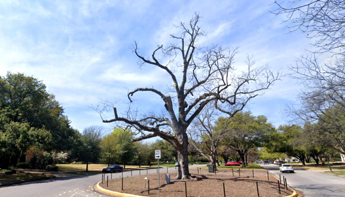 Big pecan tree in Highland Park famous for Christmas gets the axe