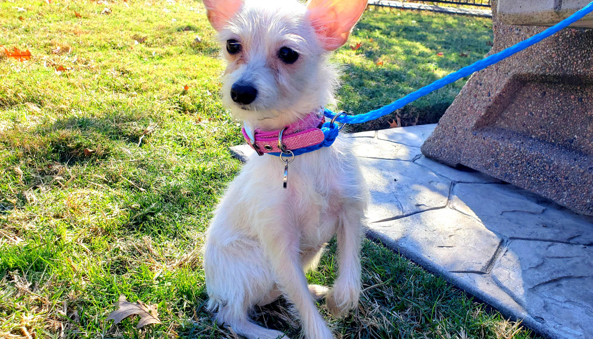 Meet Winnie, the charming Chihuahua mix, CultureMap's pet of the week