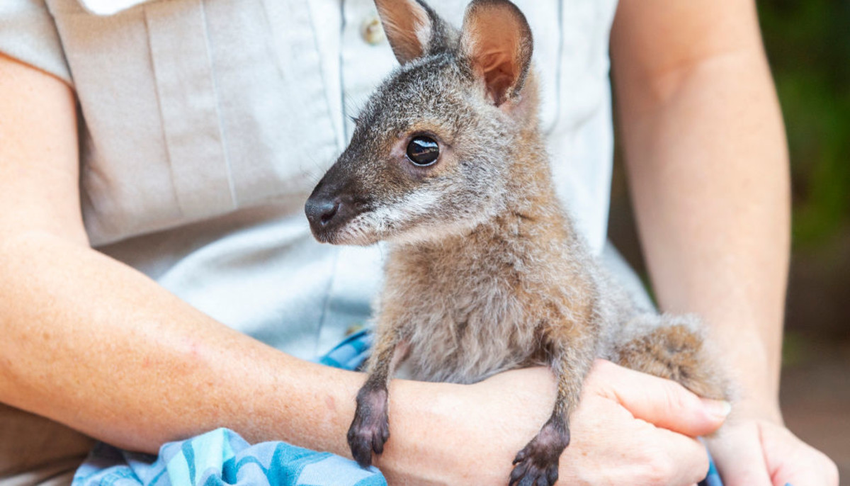 Kangaroo Australia wild fires
