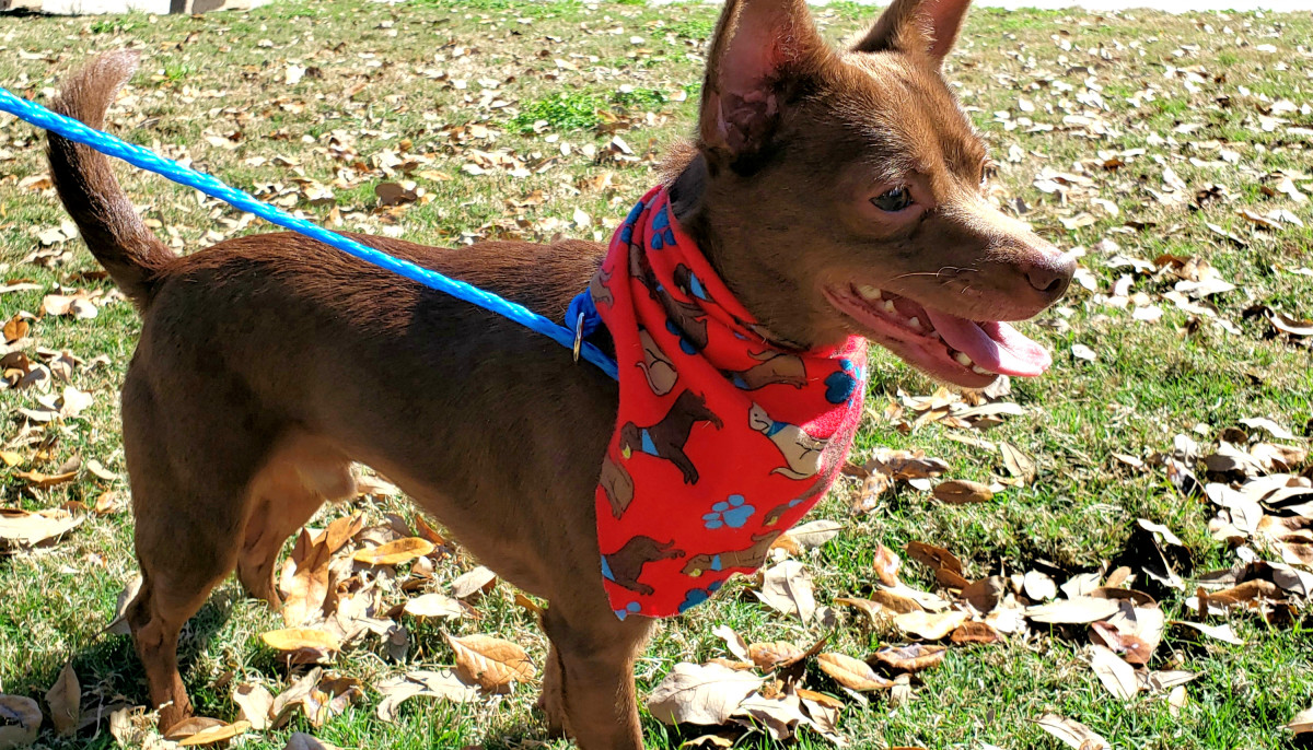Meet Peanut, the charming Chihuahua mix, CultureMap's pet of the week
