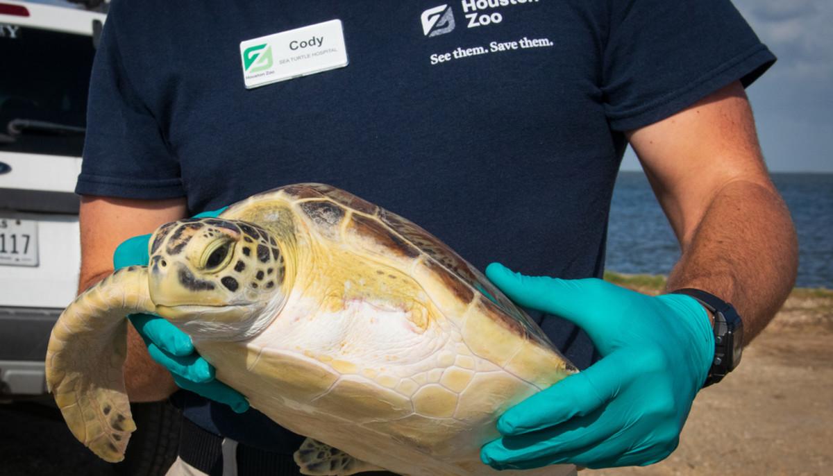 Houston Zoo rescues 2 sea turtles and returns them to Galveston Bay