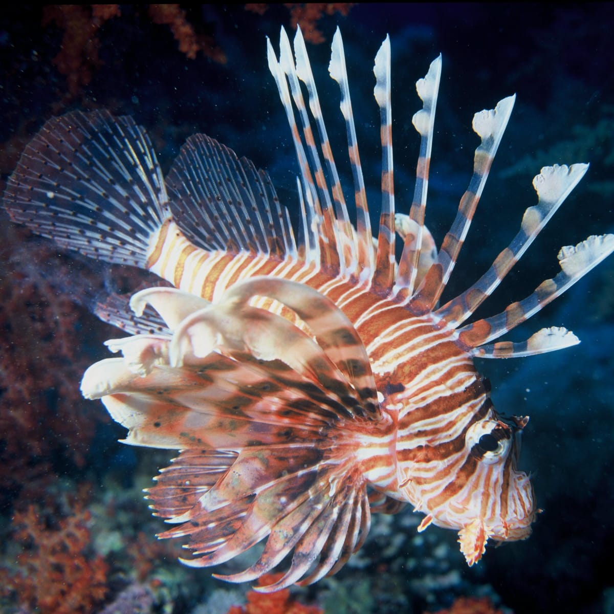 Food_and_Drink_Lionfish_Sept_2013