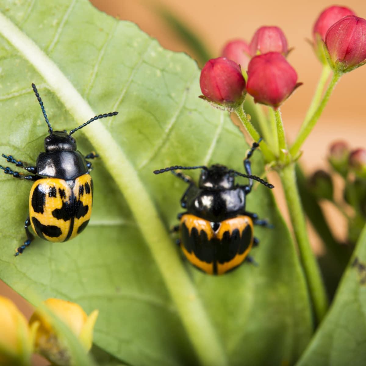 Houston Zoo Valentine's, Feb. 2016, Milkweed Leaf Beetle