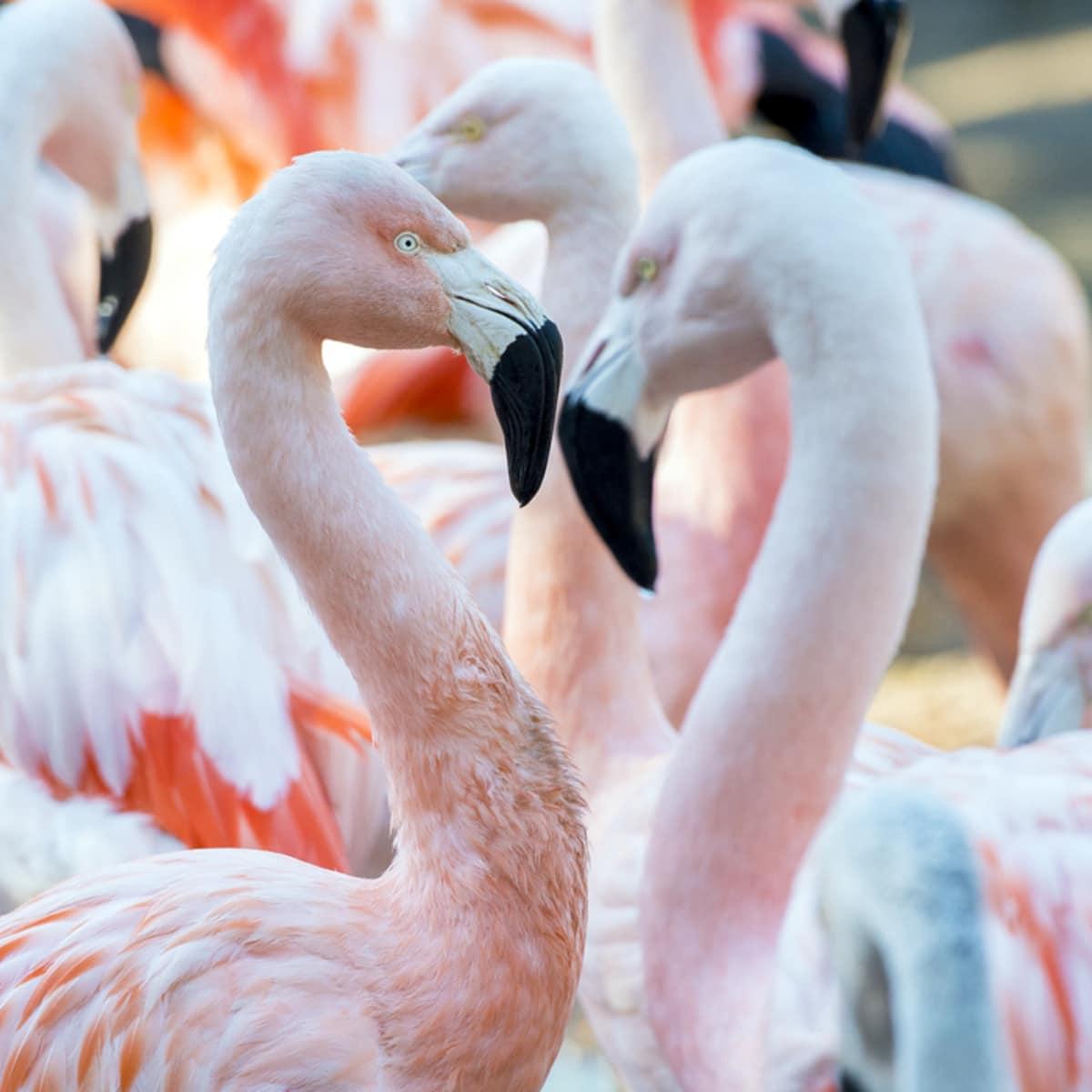 Houston Zoo Valentine's, Feb. 2016, Chilean Flamingo