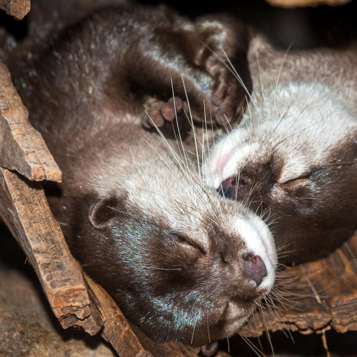 Houston Zoo Valentine's, Feb. 2016, Asian small-clawed otter