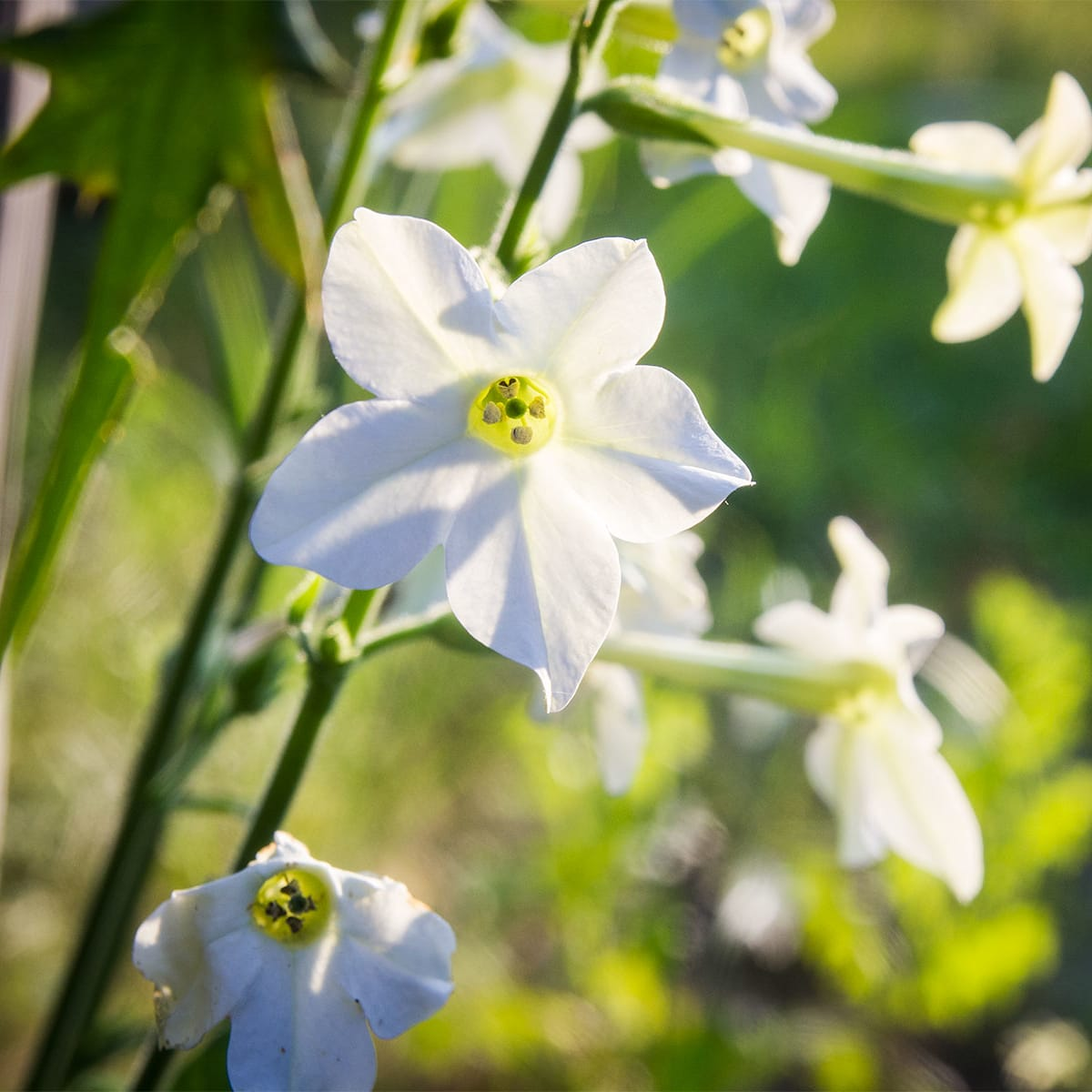 Photo of nicotiana flowers