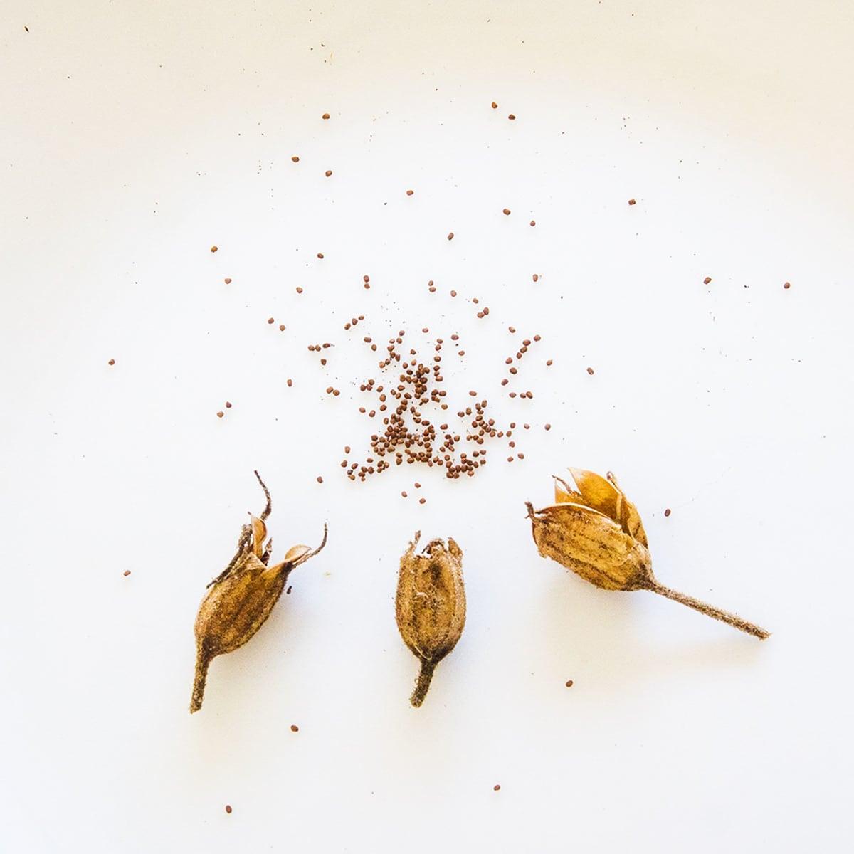 Photo of nicotiana seeds