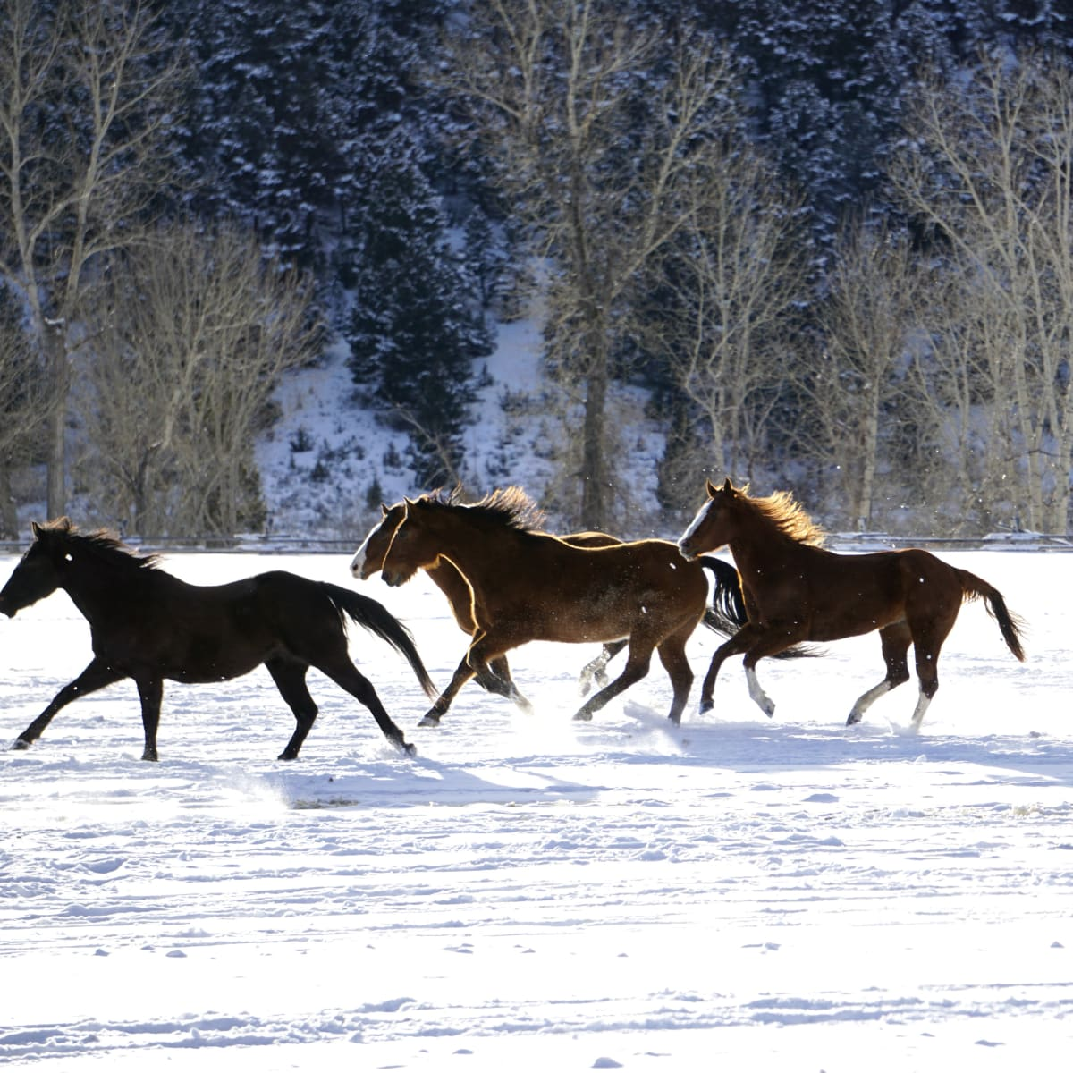 Hoffman - travel - horses running - Montana Ranch at Rock Creek