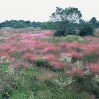 News_Katy Prairie Conservancy_Williams_Prairie