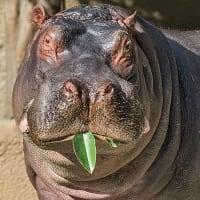 Adhamu hippo hippopotamus