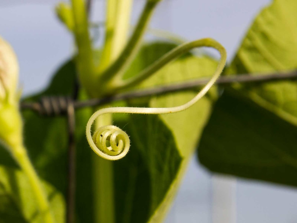 Photo of gourd tendril