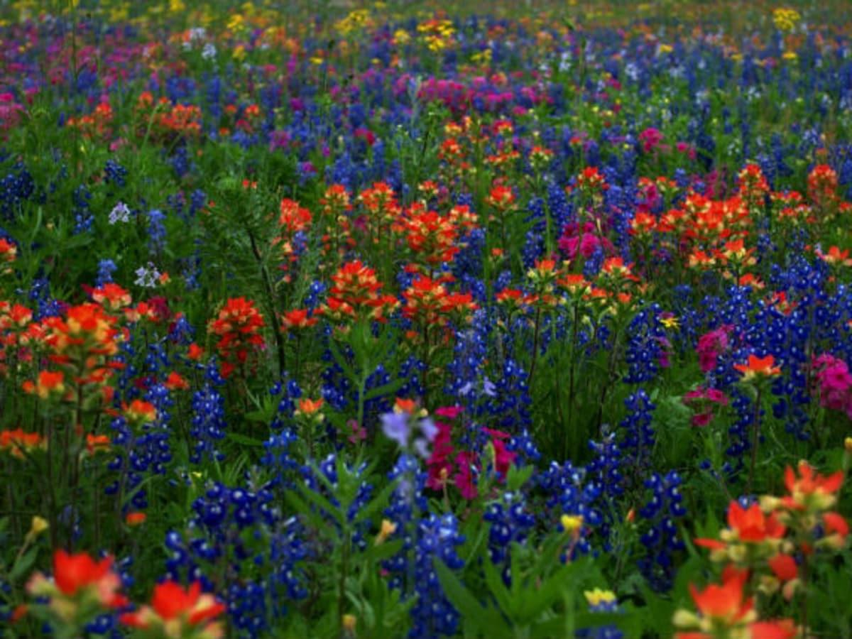 Highway 290 Wildflowers