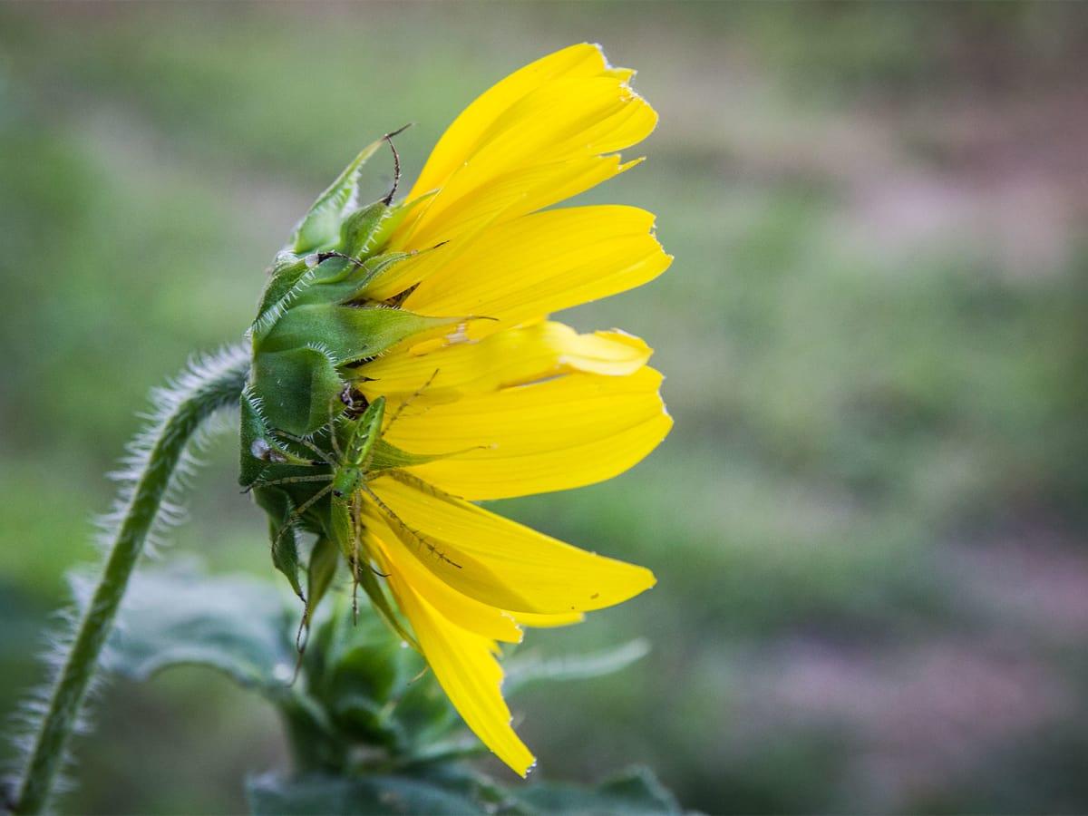 Photo of spider on sunflower