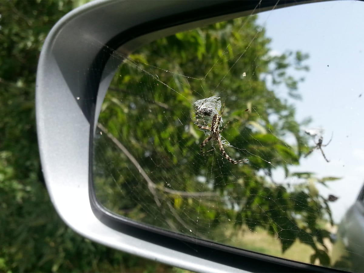photo of garden spider of rear view mirror
