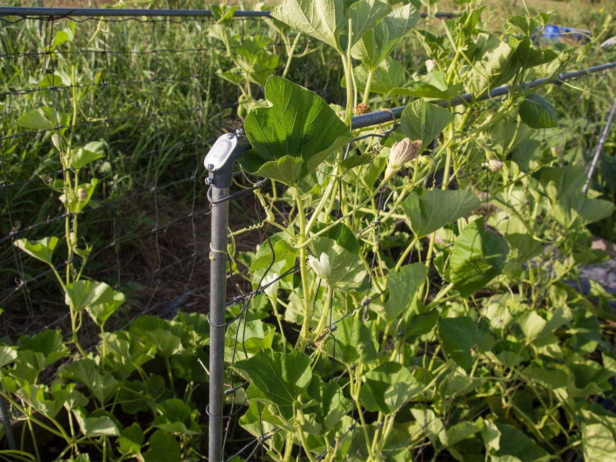 Photo of gourds growing up a trellis