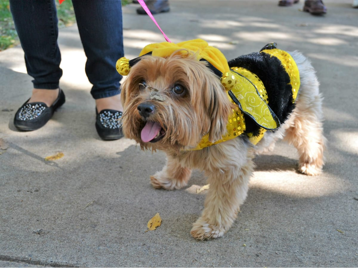 Dog in a bumblebee costume