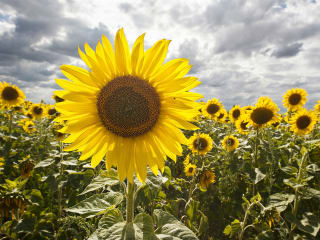 Sunflowers in France #1