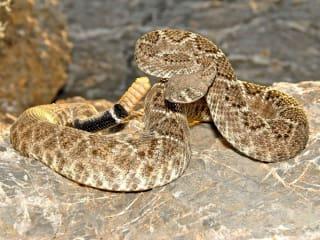 Texas Rattlesnake Festival