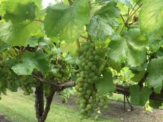 Wild Stallion Vineyards presents  Harvest Day Festival