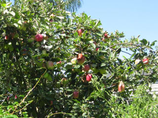 Anna apple tree (dwarf) with fruit apples