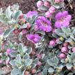 Houzz southwestern native shrubs plants gardening Texas ranger